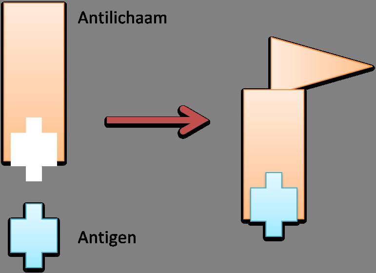 Een antilichaam bindt een antigen en vormt een vlaggetje voor het immuunsysteem