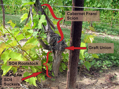 https://www.canr.msu.edu/grapes/viticulture/grape-rootstocks-for-michigan